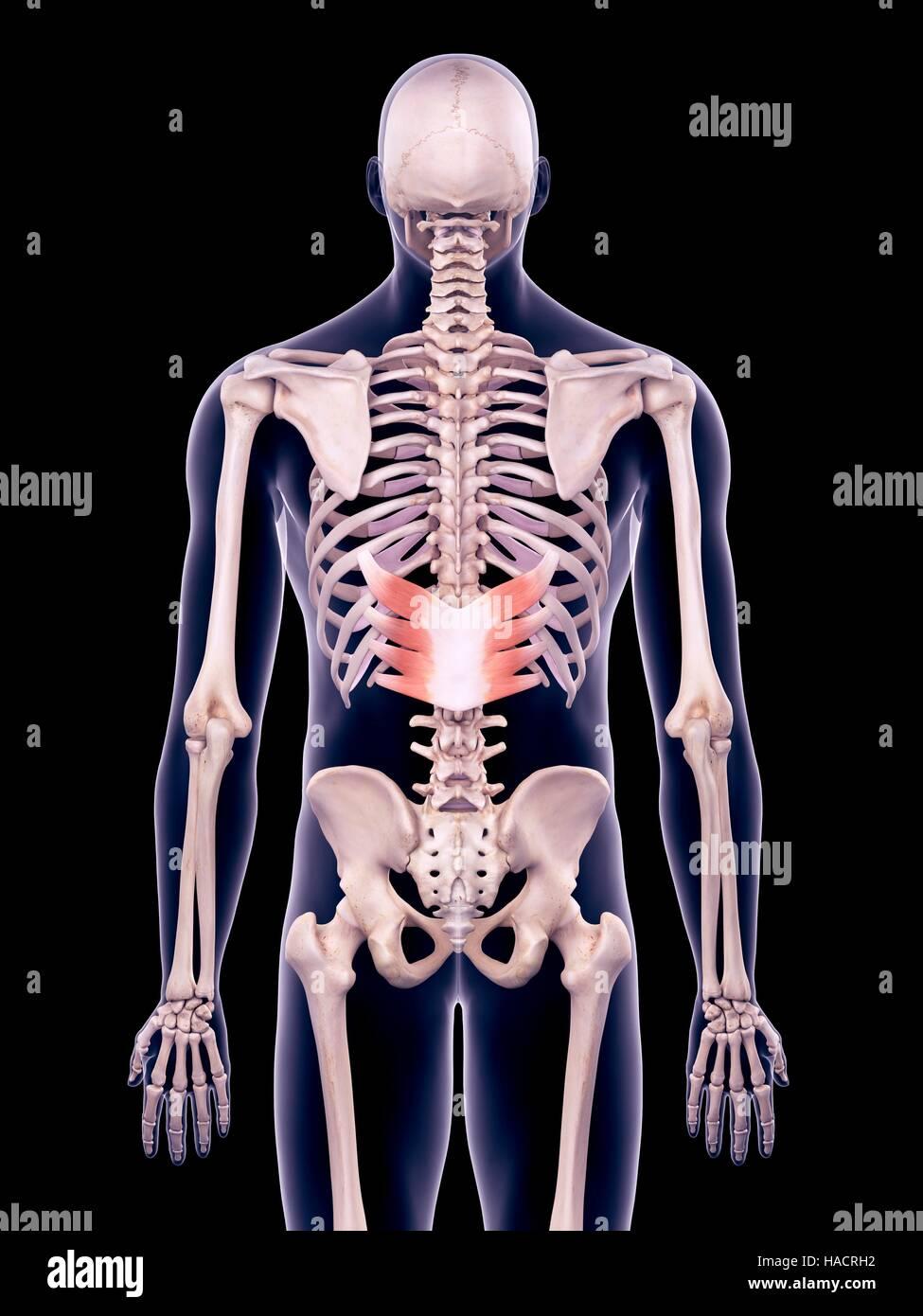 Illustration of the serratus posterior inferior muscles. - Stock Image