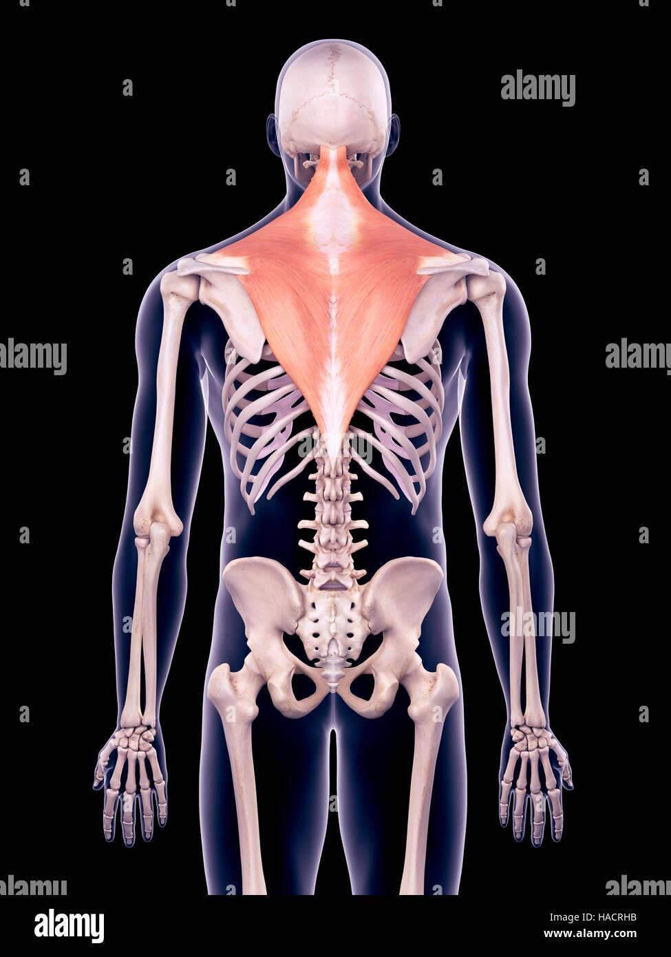 Trapezius Muscles Stock Photos Trapezius Muscles Stock Images Alamy