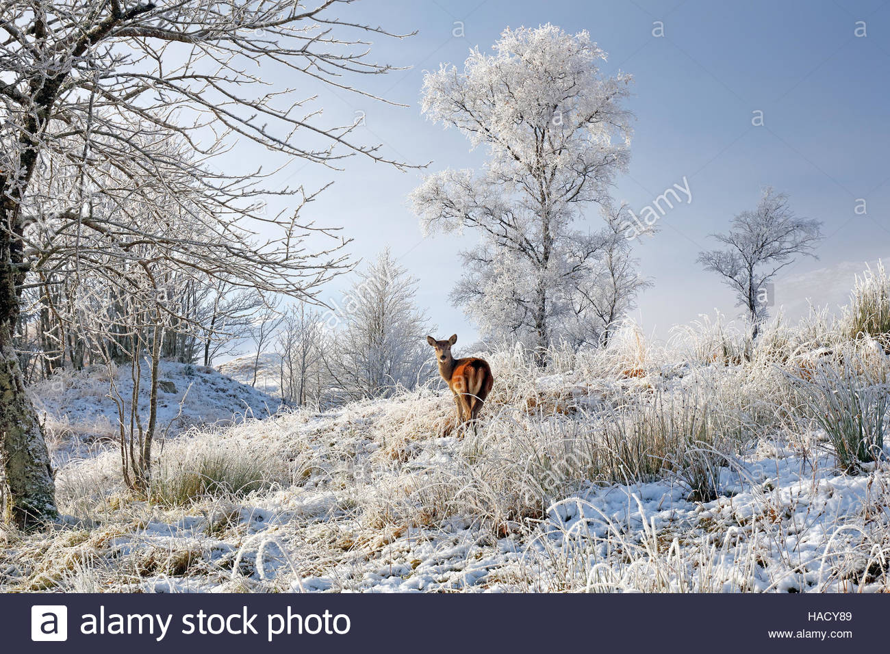 A lone Red Deer hind on a snow, mist and frost covered winter landscape in the Scottish highlands. Stock Photo