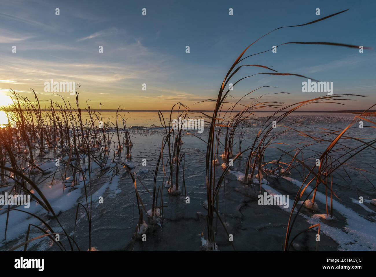 dry cane in ice - Stock Image