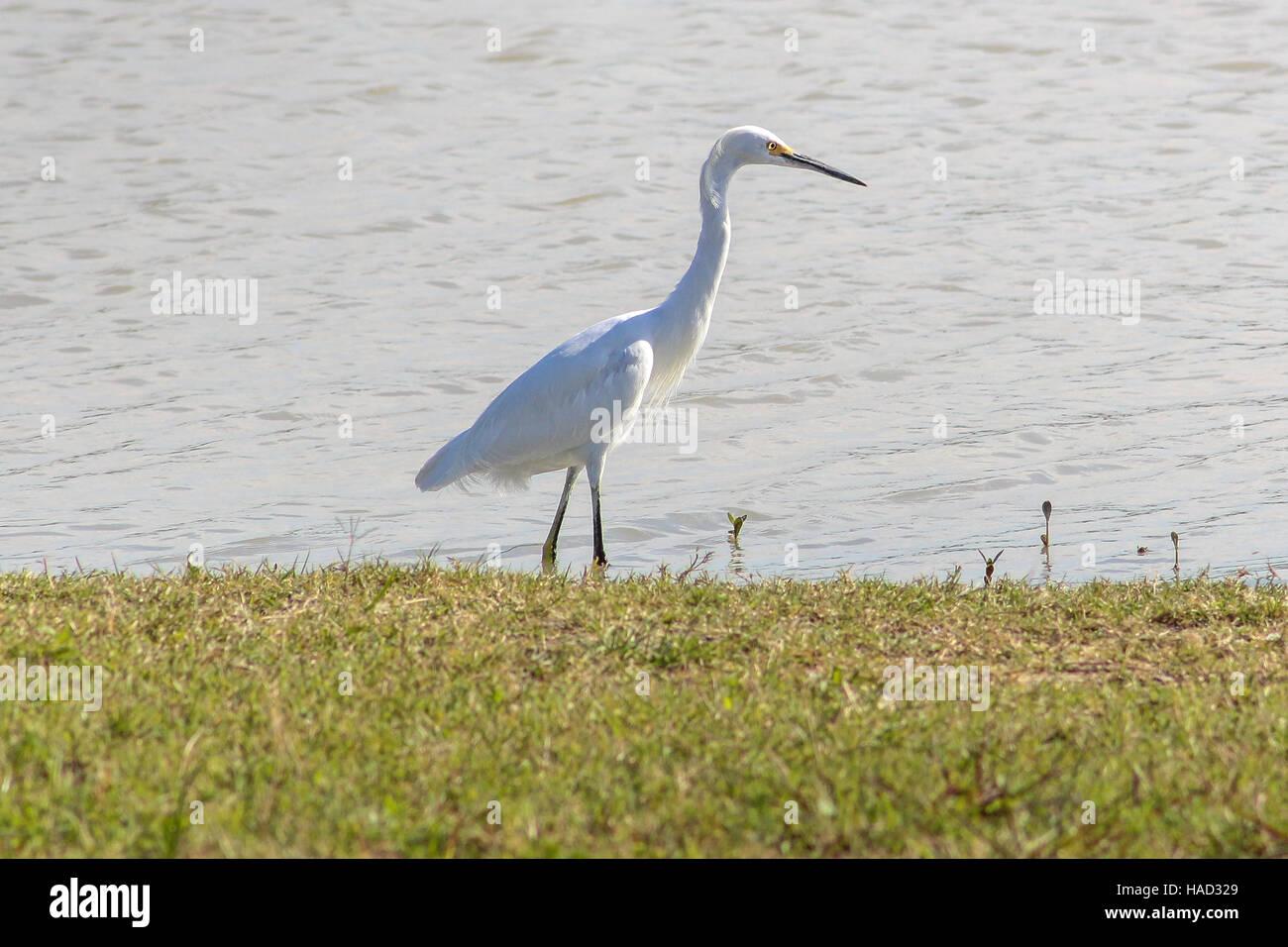 Egret, white egretta garzetta, wading a retention pond shoreline - Stock Image