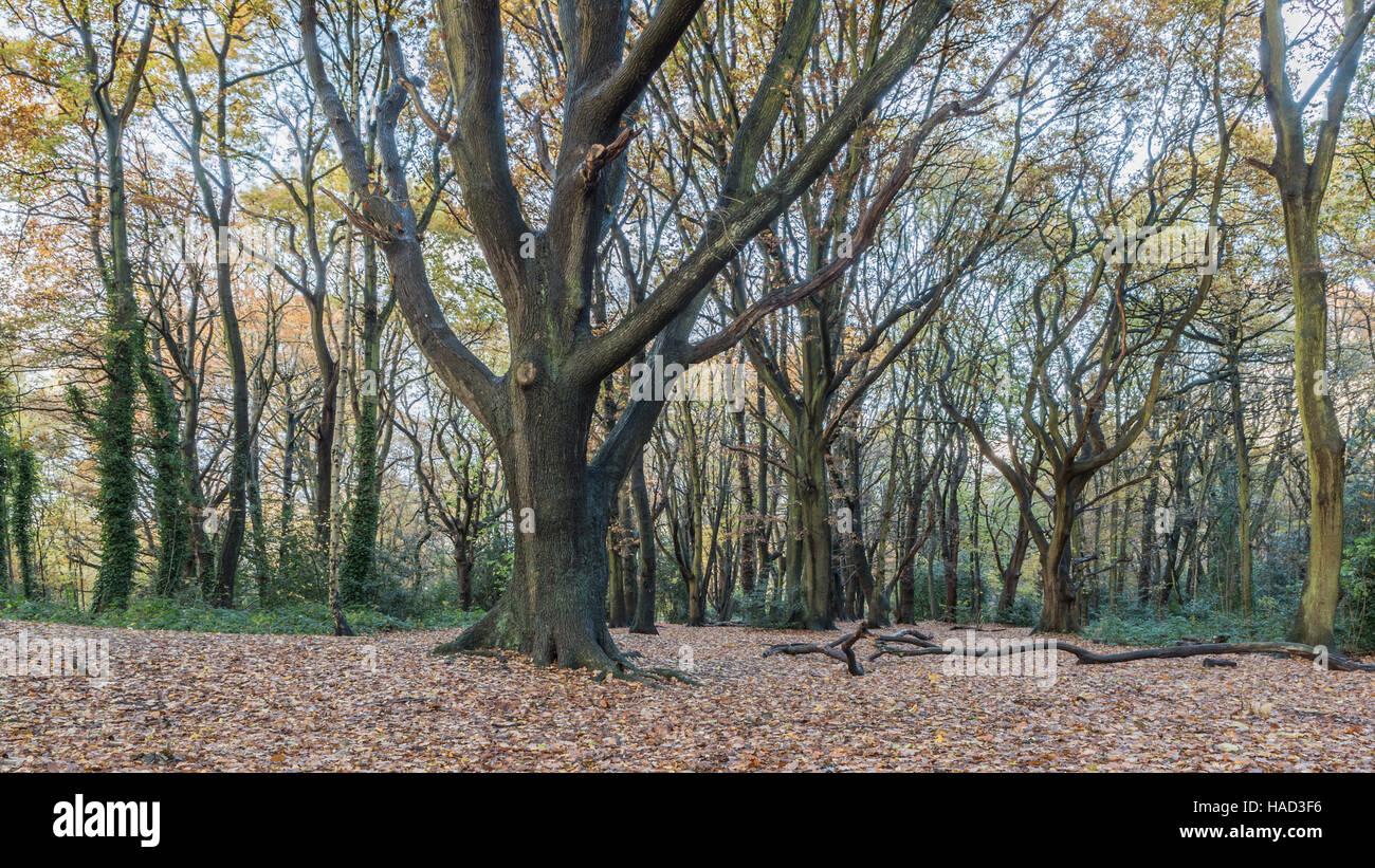 hampstead woods, - Stock Image