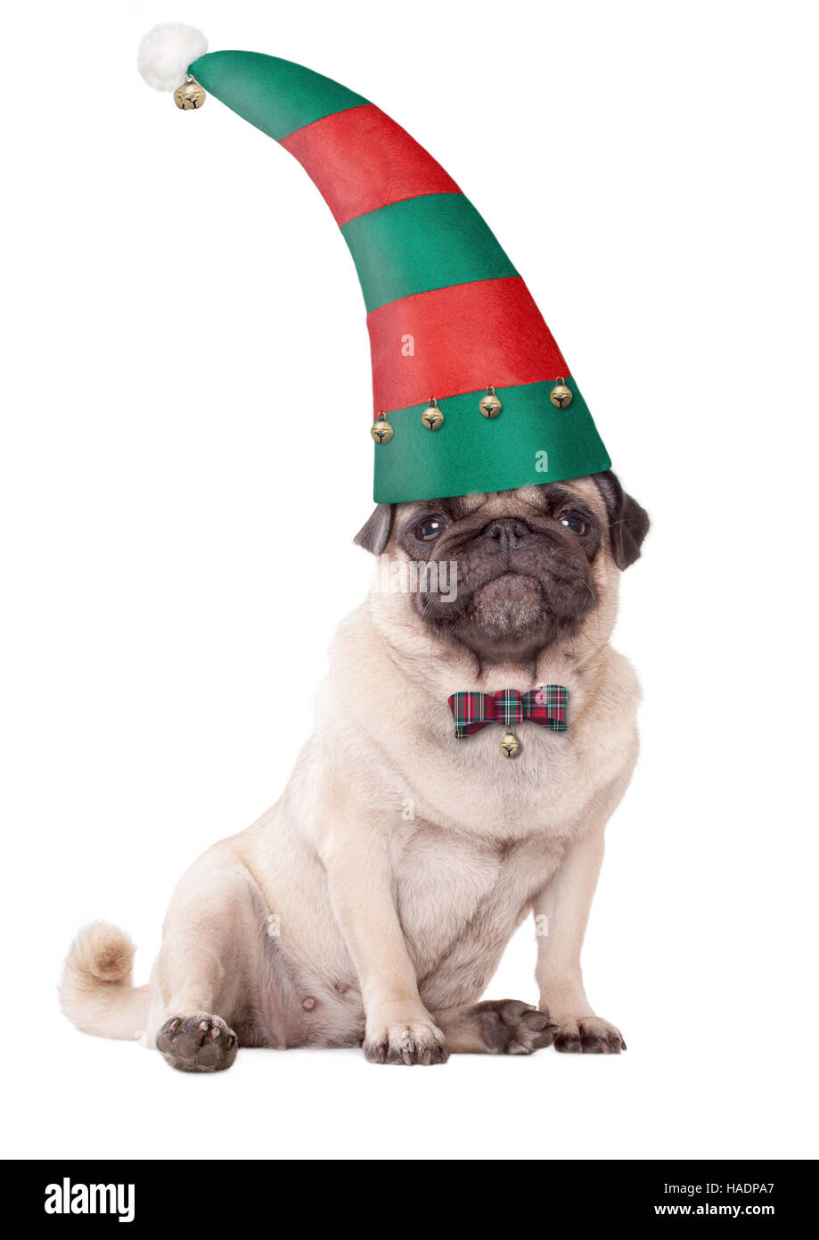 cute pug puppy dog wearing an elf hat for christmas, on white background - Stock Image