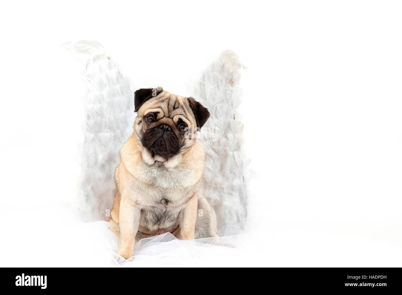 Pug. Adult male sitting, wearing angels wings.  Studio picture against a white background - Stock Image