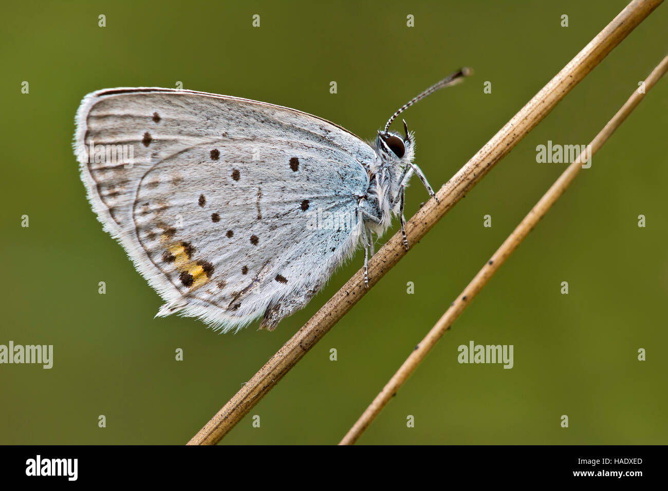 Short-tailed blue (Cupido argiades) butterfly, Burgenland, Austria - Stock Image
