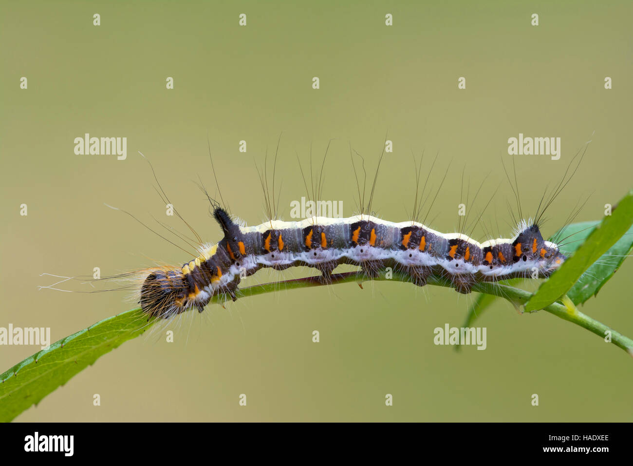 Grey dagger (Acronicta psi), caterpillar on leaf, Burgenland, Austria - Stock Image