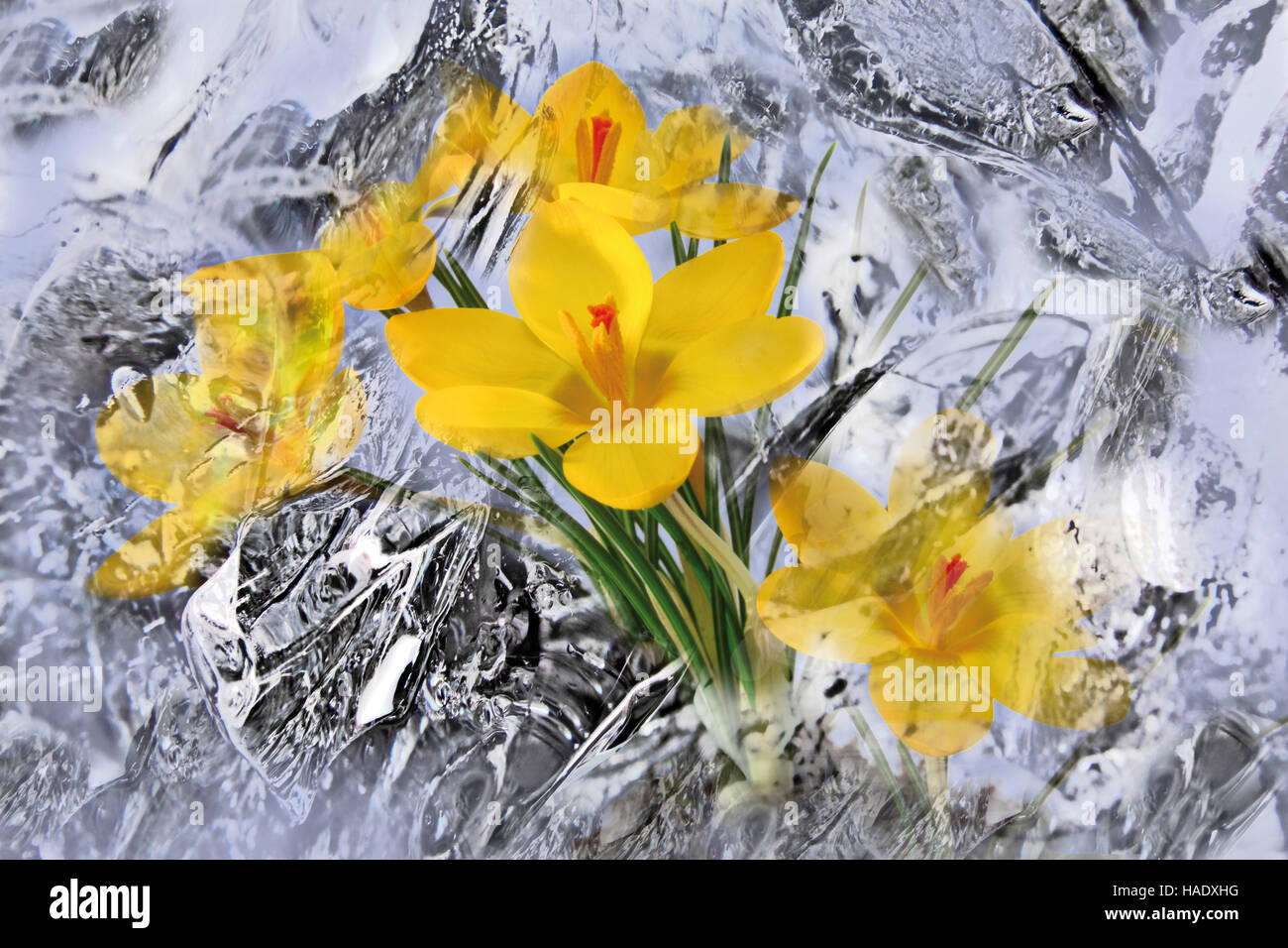 Crocuses enveloped in ice - Stock Image