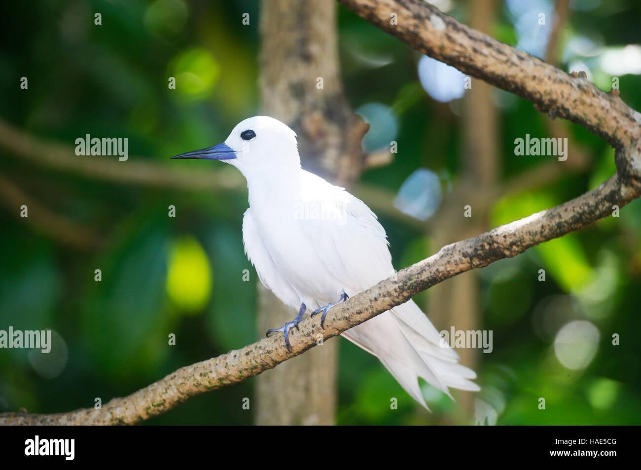 Fairy Tern (Gygis alba), Feenseeschwalbe - Stock Image