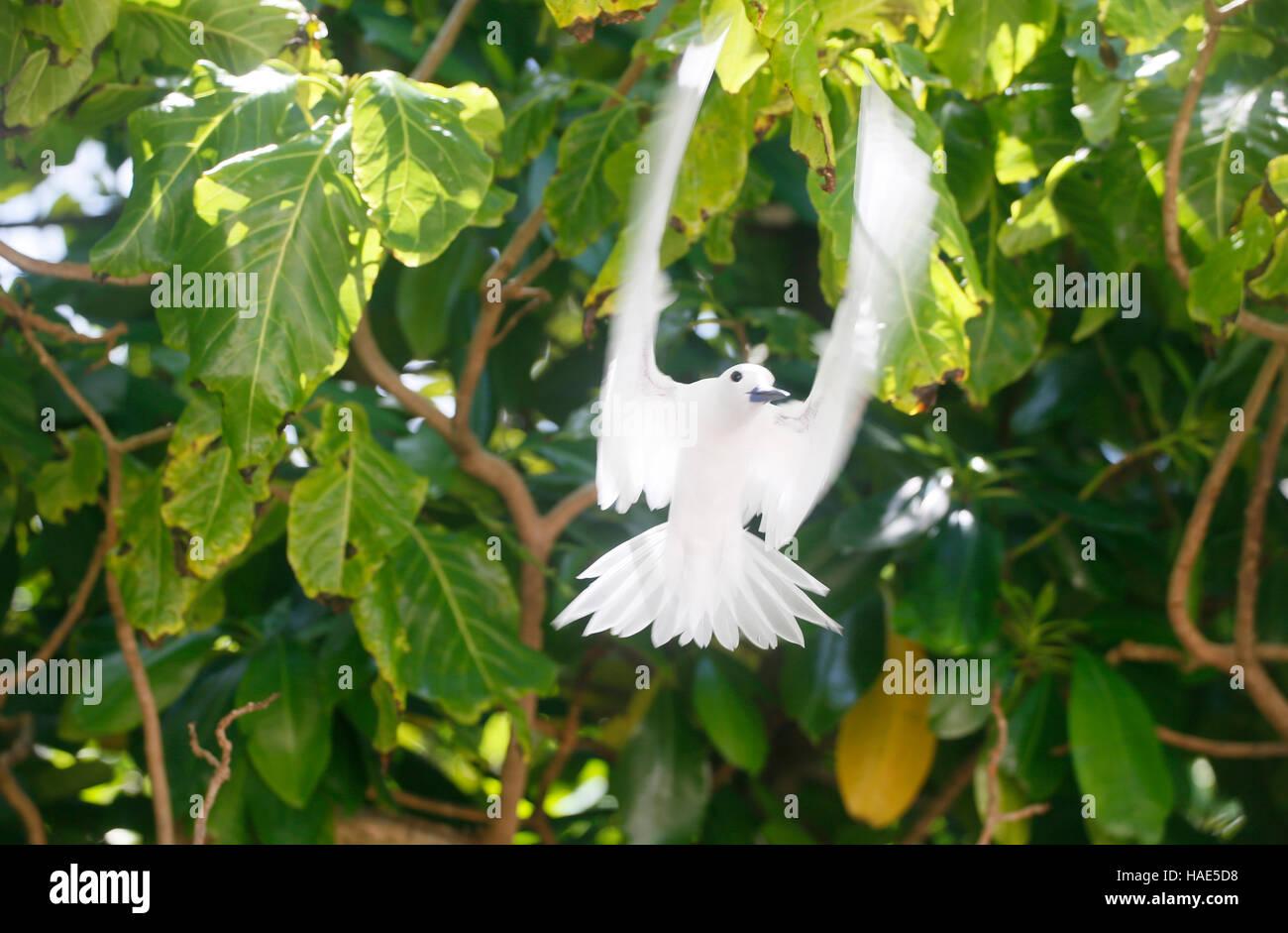 Fairy Tern (Gygis alba), Seychelles - Stock Image