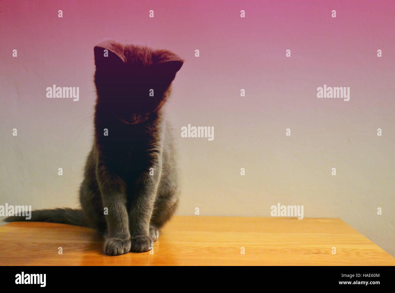 Beautiful still silhouette crossed portrait of a Russian blue Kitten. - Stock Image