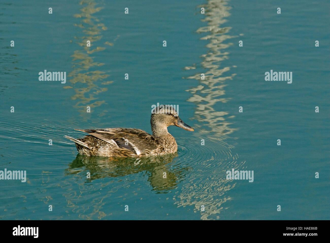 Mallard duck (Anas platyrhynchos), Lake Trasimeno, Umbria, Italy - Stock Image