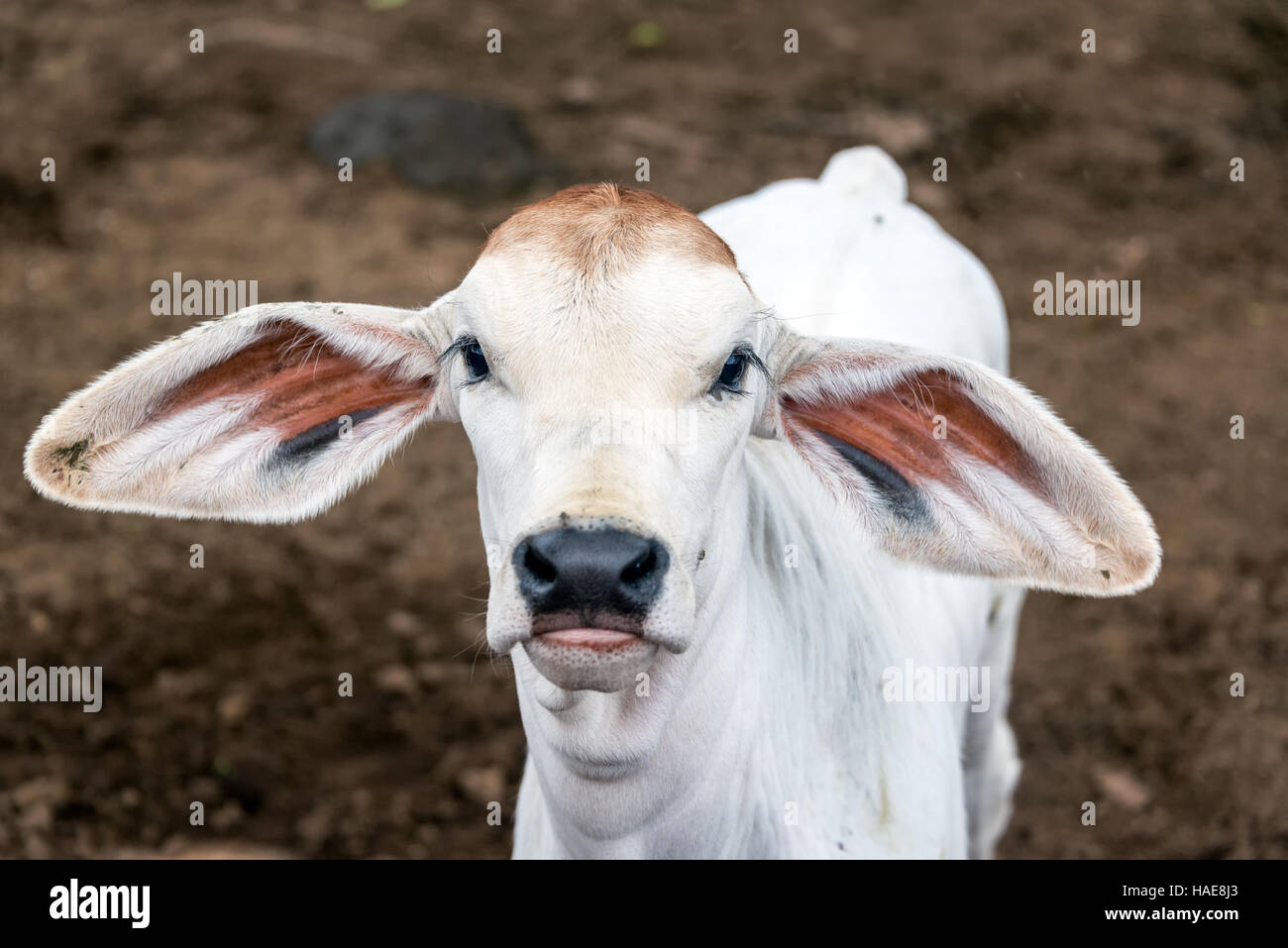 Young calf with big floppy ears seen in the town of Guane, Colombia - Stock Image
