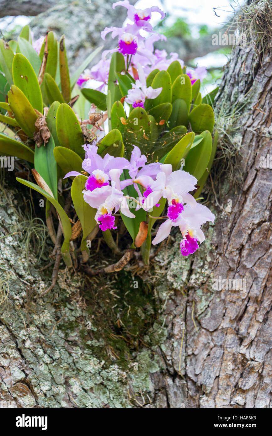 Cattleya Trianae Orchid Growing In A Tree In Barichara