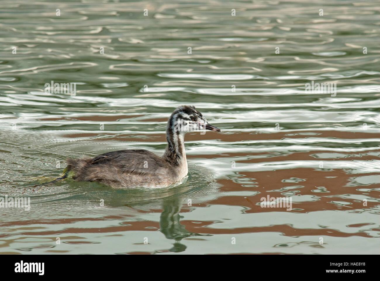 Young great crested grebe (Podiceps cristatus), Lake Trasimeno, Umbria, Italy - Stock Image