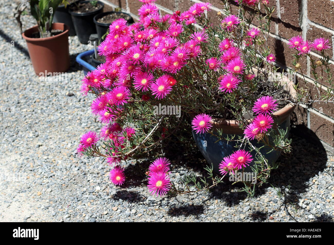 Pink Pig face flowers or Mesembryanthemum , ice plant flowers, Livingstone Daisies in full bloom - Stock Image
