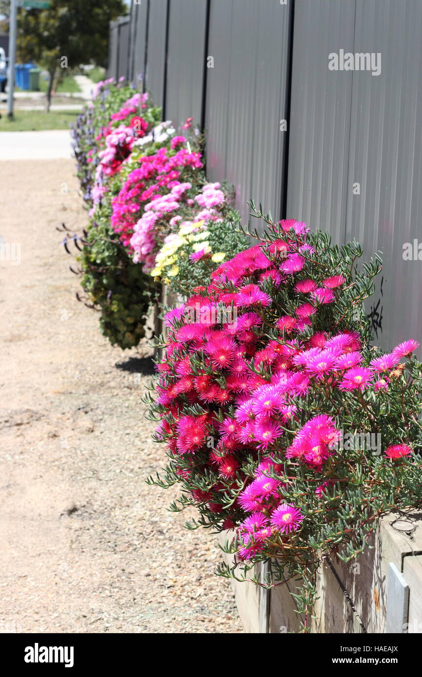 A row of mixed colours of Pink Pig face flowers or Mesembryanthemum growing near metal fence and retaining wall - Stock Image