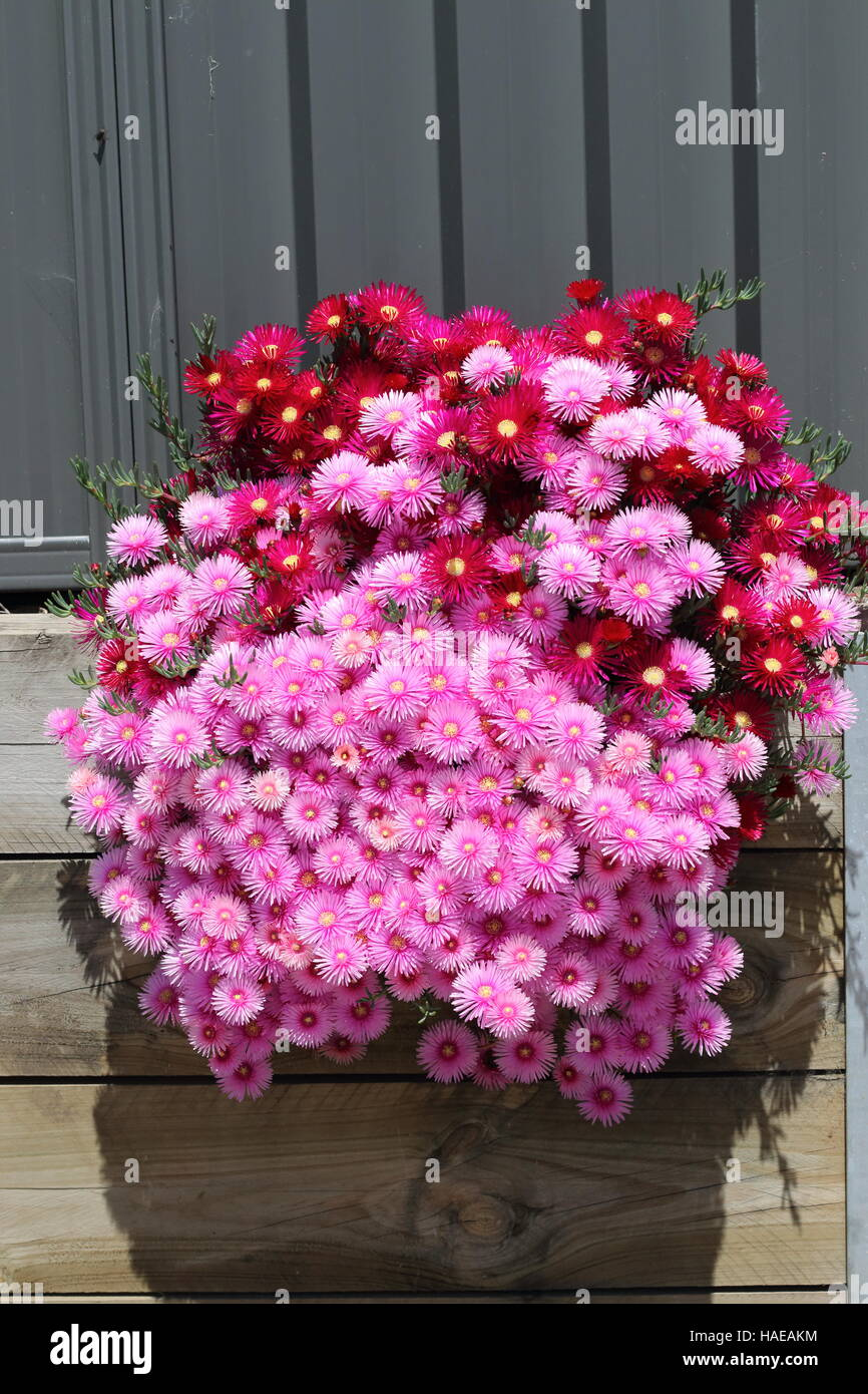 Pink  and red Pig face flowers or Mesembryanthemum , ice plant flowers, Livingstone Daisies in full bloom - Stock Image