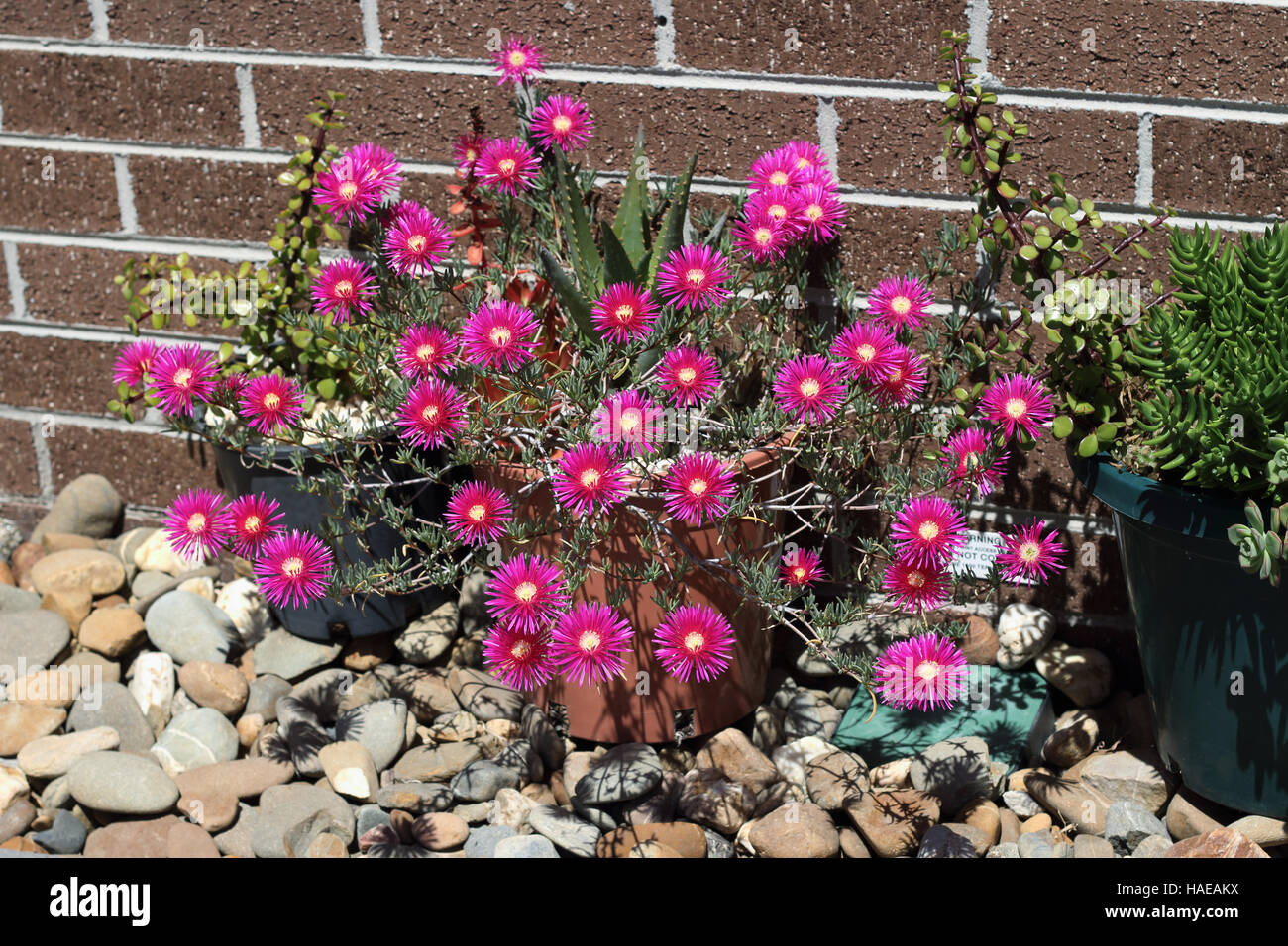 Pink Pig face flowers or Mesembryanthemum , ice plant flowers growing in a pot - Stock Image