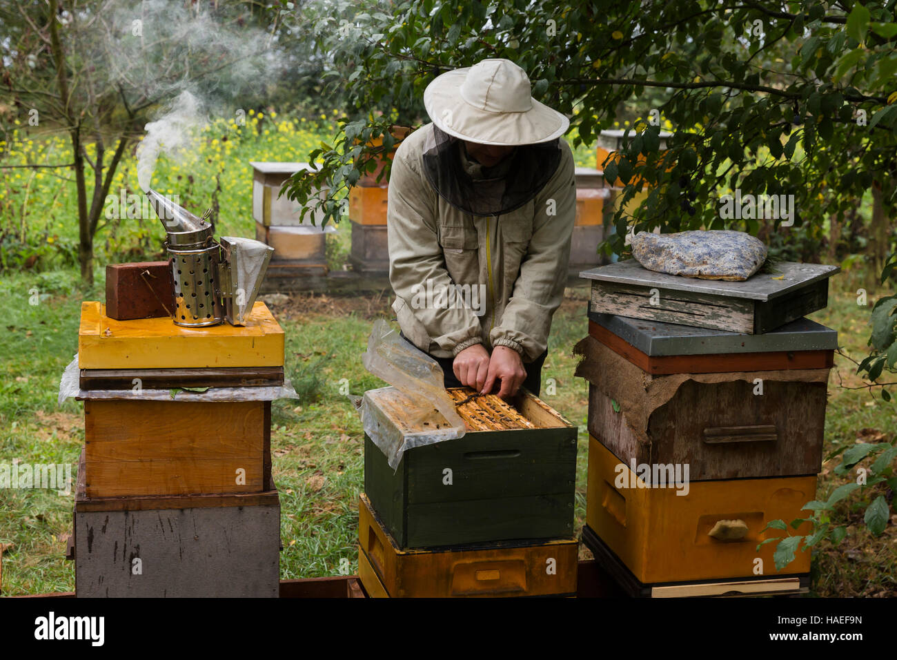 Bee-keeper during work with the beehives and bees in the apiary - Stock Image