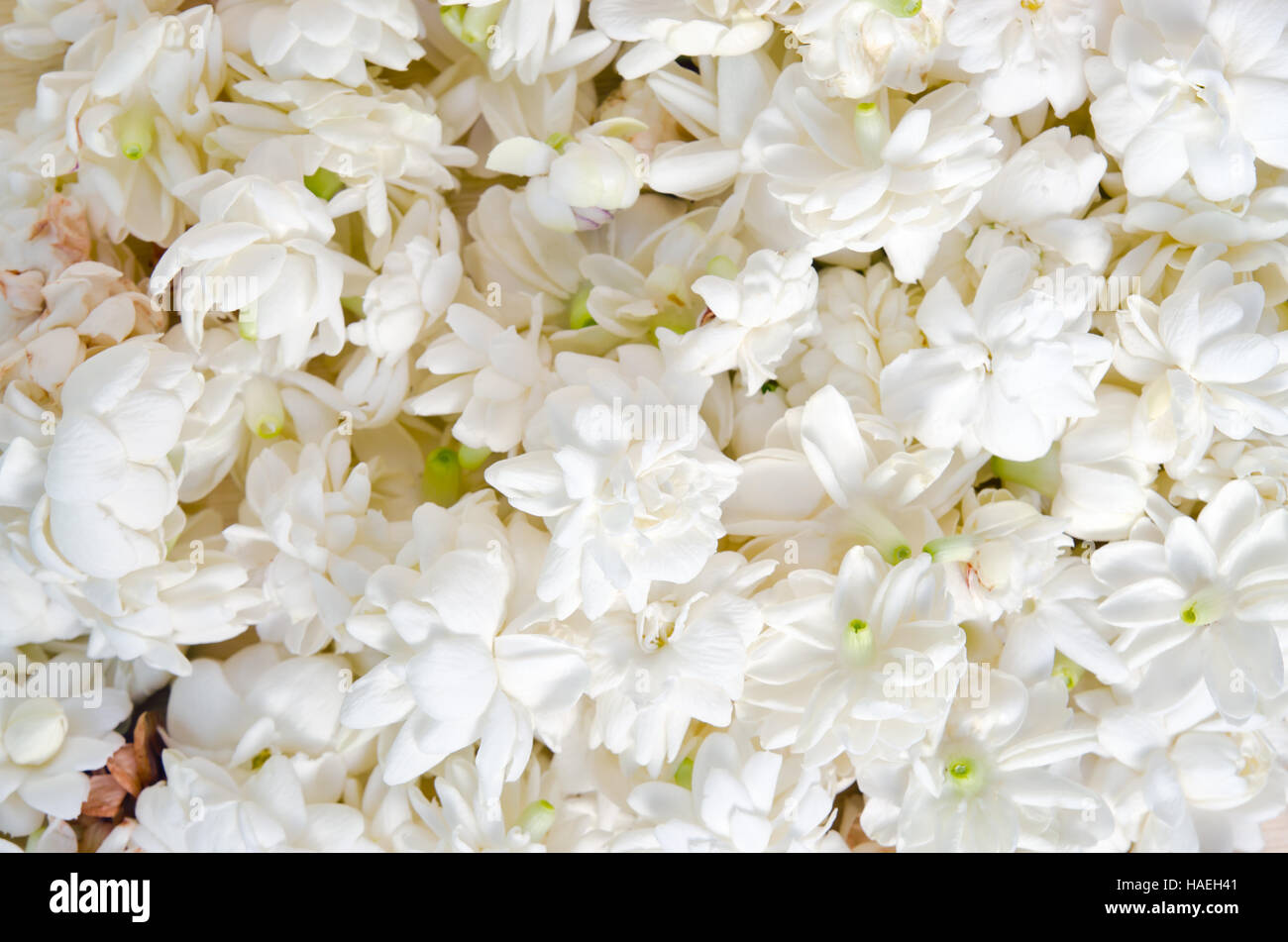 Jasmine other names are jasminum melati jessamine oleaceae stock jasmine other names are jasminum melati jessamine oleaceae jasmine flowers spread over white background izmirmasajfo