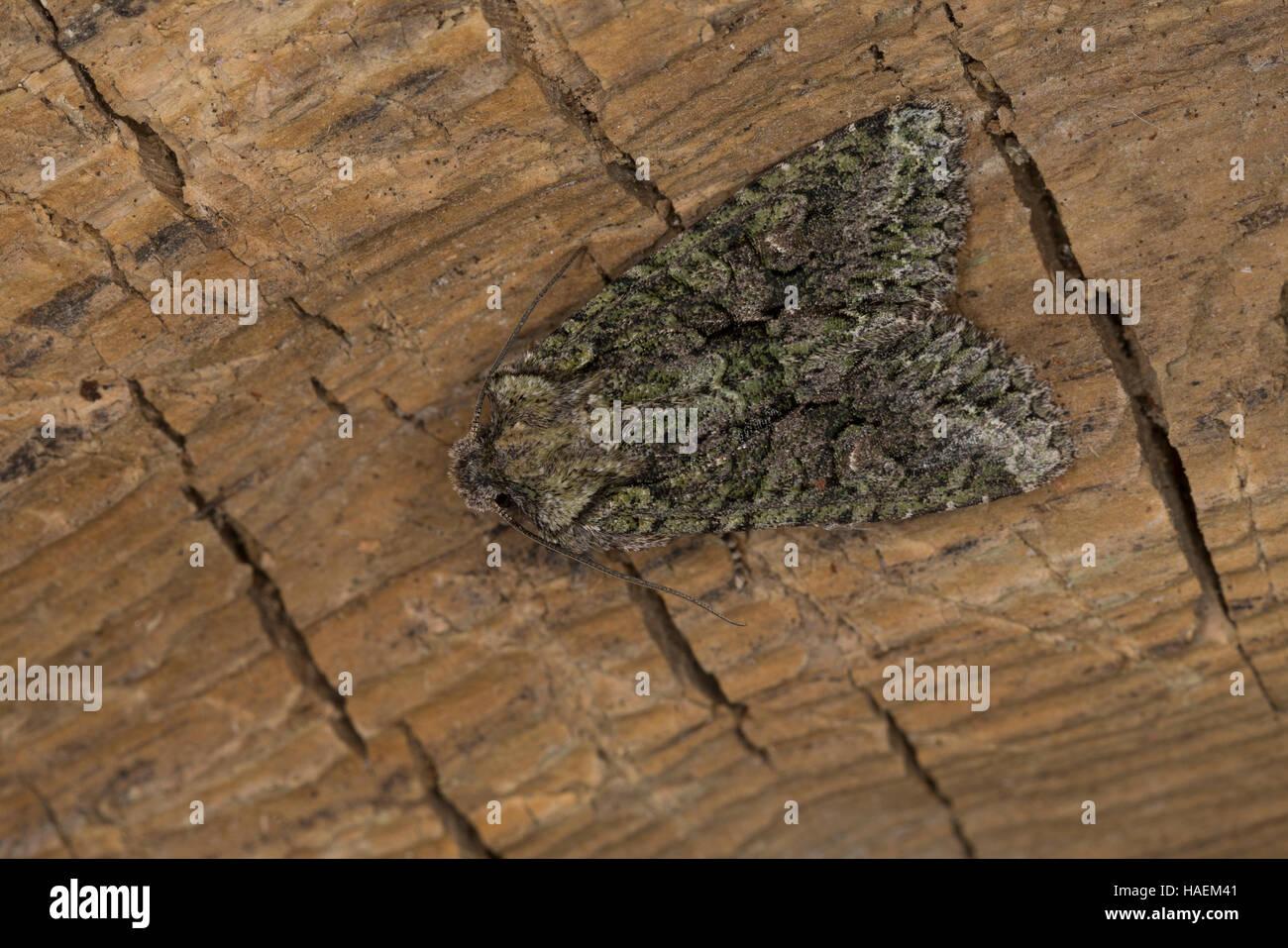 Olivgrüne Eicheneule, Olivgrüne Hain-Eicheneule, Braungraue Eicheneule, Dryobotodes eremita, Brindled - Stock Image