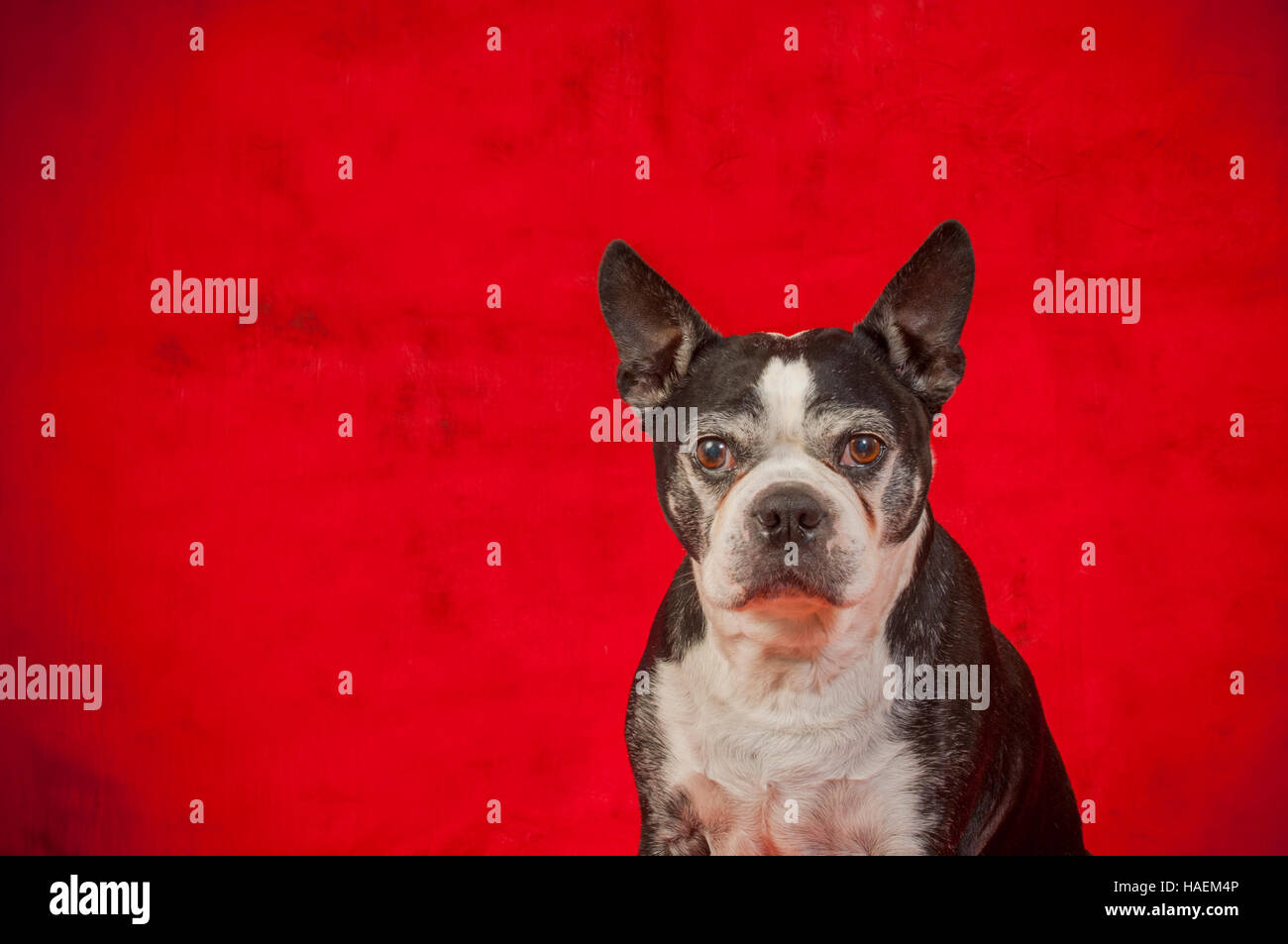 Boston terrier dog in front of a red backdrop - Stock Image