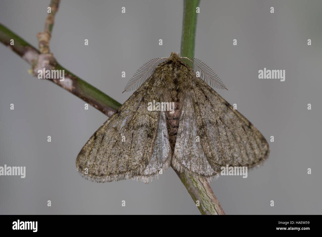 Schneespanner, Schnee-Spanner, Männchen, Phigalia pilosaria, Pale Brindled Beauty, male, Phalène velue, - Stock Image