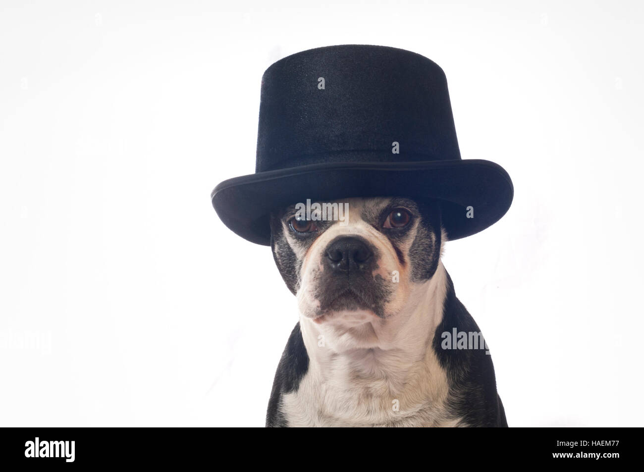Boston terrier dog with disguise in front of white backdrop - Stock Image