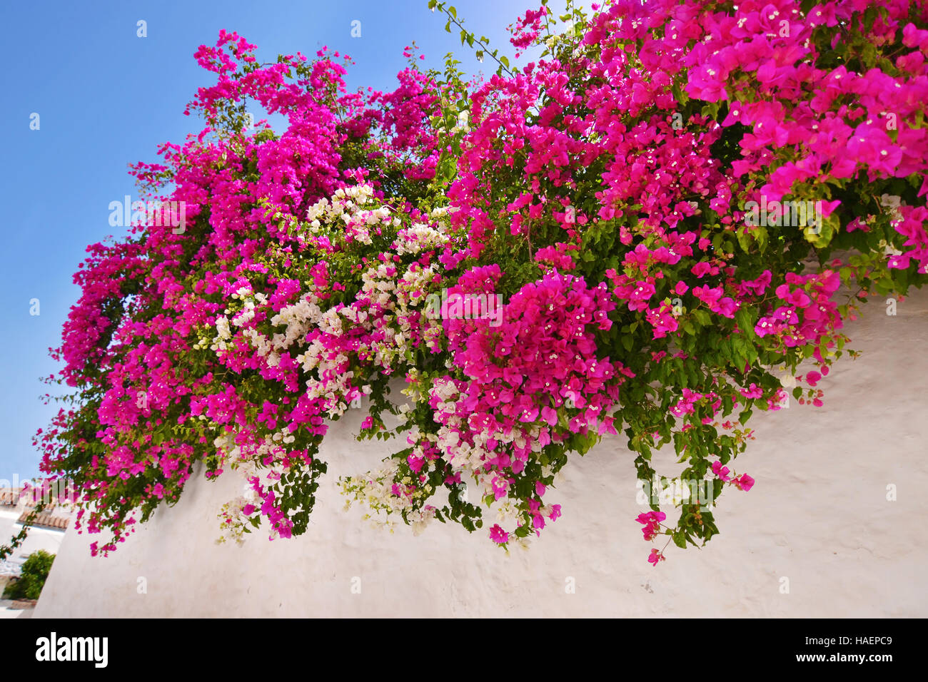 bougainvillea flower Sifnos Greece - Stock Image