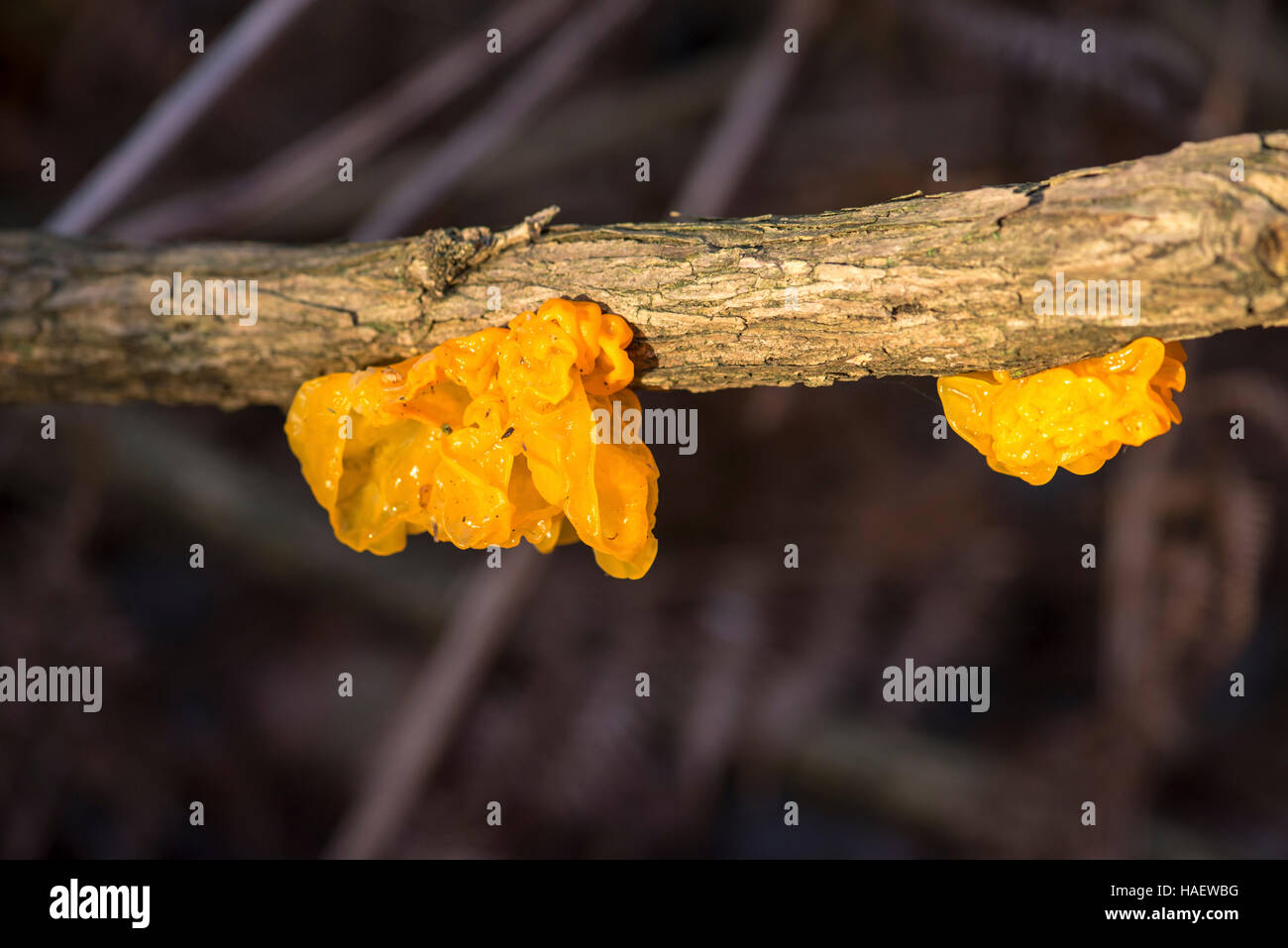 The fungus Tremella mesenterica has several common names including yellow brain fungus, jelly brain fungus and witche's - Stock Image
