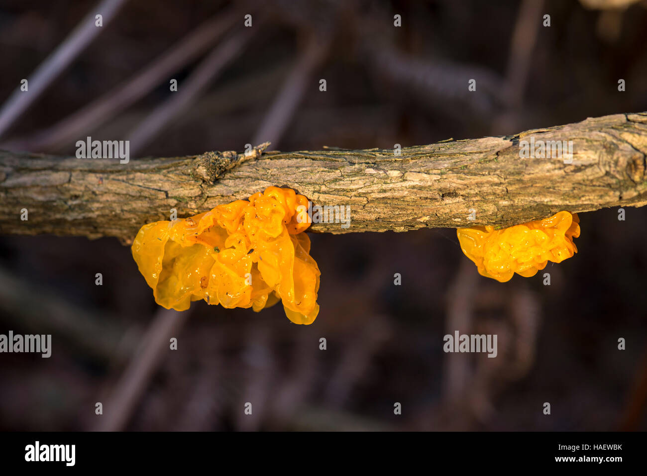 The fungus Tremella mesenterica has several common names including yellow brain fungus, jelly brain fungus and witches' - Stock Image