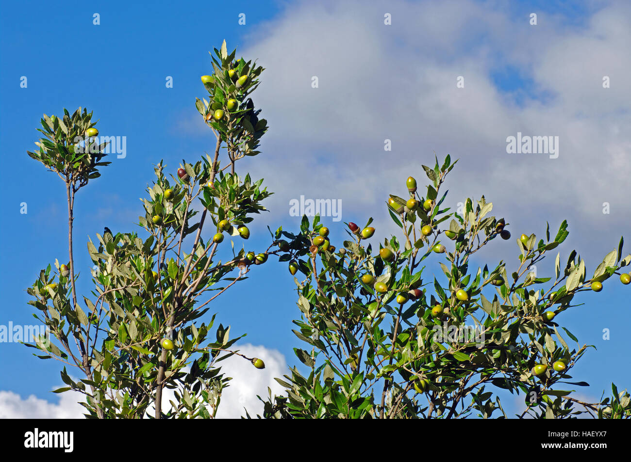 This is the evergreen oak Quercus ilex, the Holm oak or Holly oak, family Fagaceae - with acorns - Stock Image