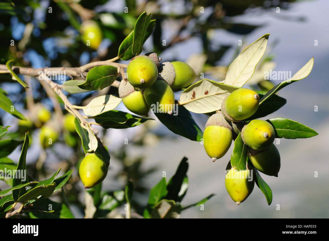 Quercus ilex, the Holm oak or Holly Oak (an evergreen oak) with acorns, family Fagaceae - Stock Image