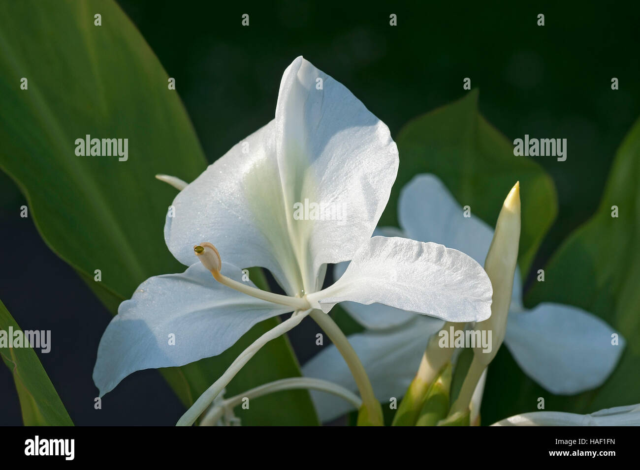 White ginger lily flowers stock photo 126949641 alamy white ginger lily flowers mightylinksfo