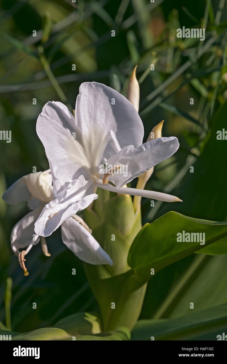 White Ginger Lily Stock Photo 126949660 Alamy