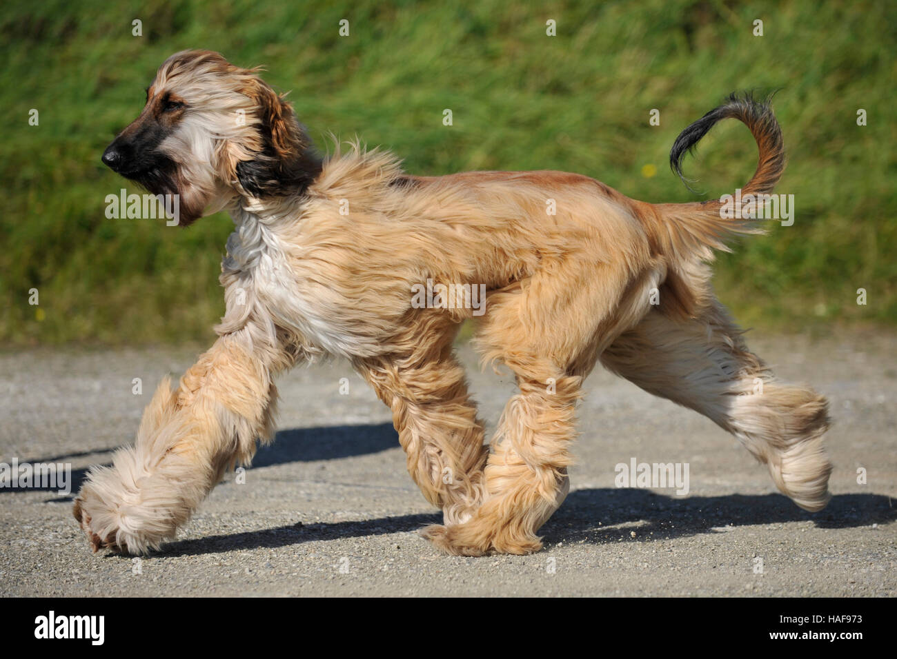 trotting afghan puppy - Stock Image