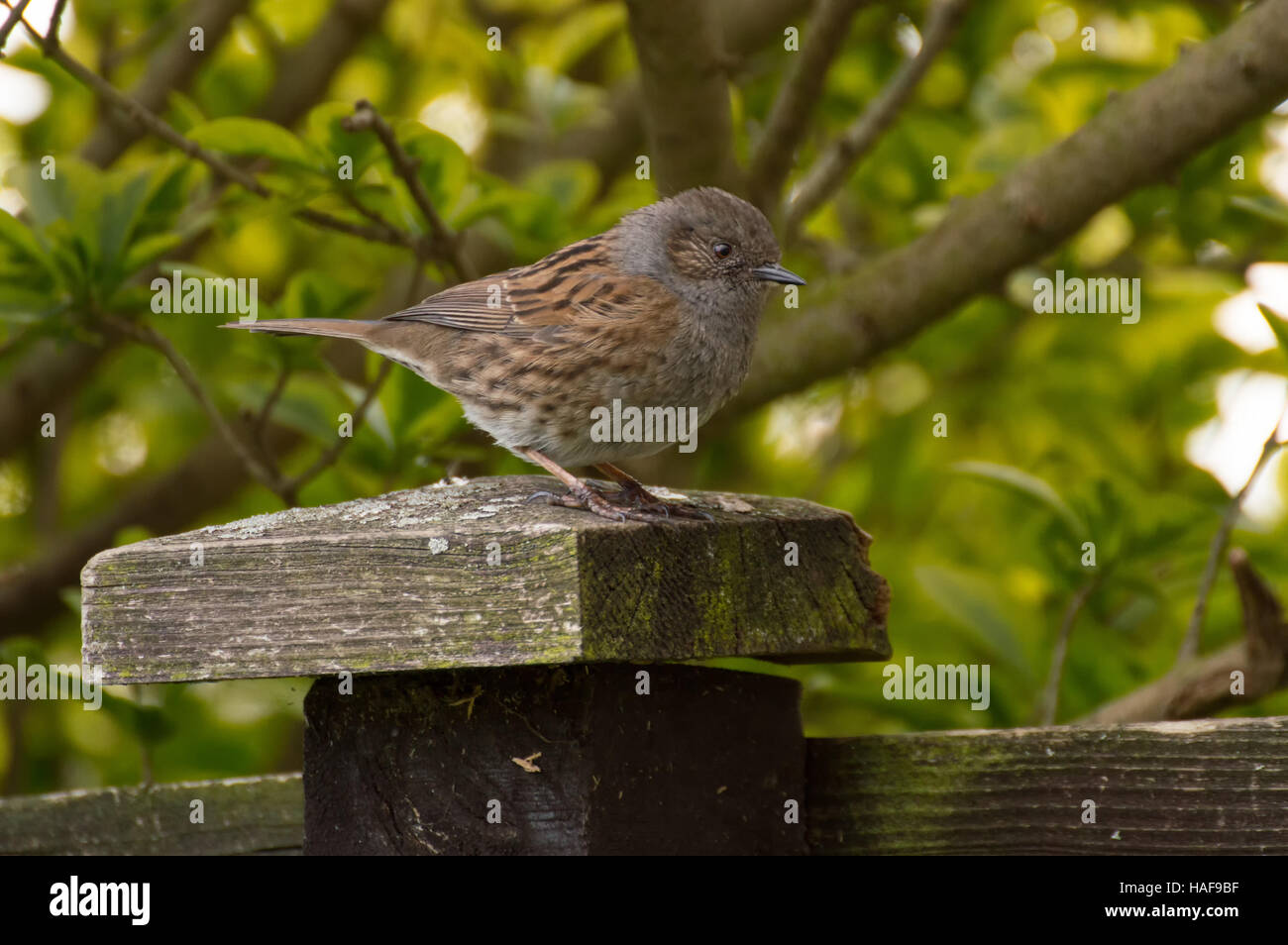 A Dunnock (Prunella modularis) standing on a wooden fence post. - Stock Image