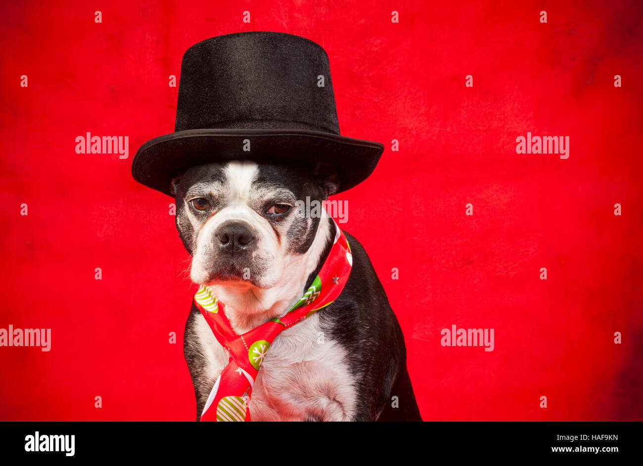Boston terrier dog with disguise in front of red backdrop - Stock Image