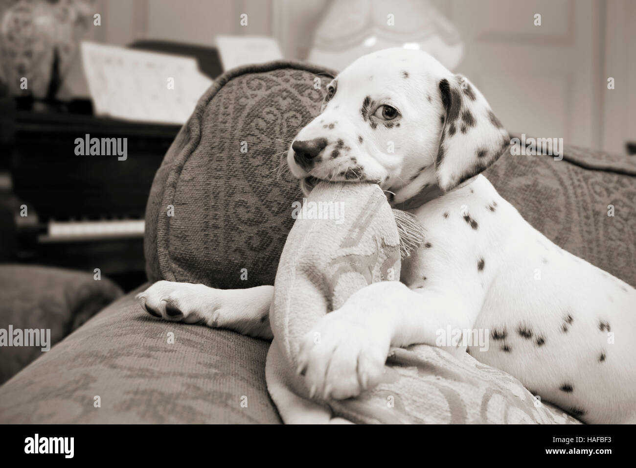 Cute Dalmatian Puppy Chewing on a Cushion - Stock Image