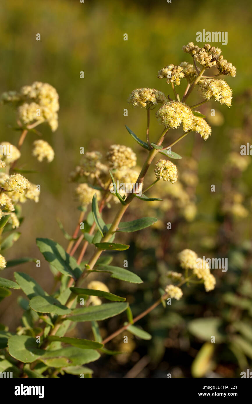 white Sedum great (Sedum maximum) in nature - Stock Image