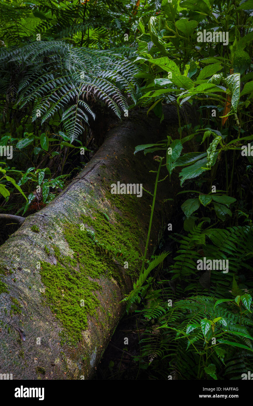 Mossy trees and lush leafs in the rainforest, Bali, Indoanesia - Stock Image
