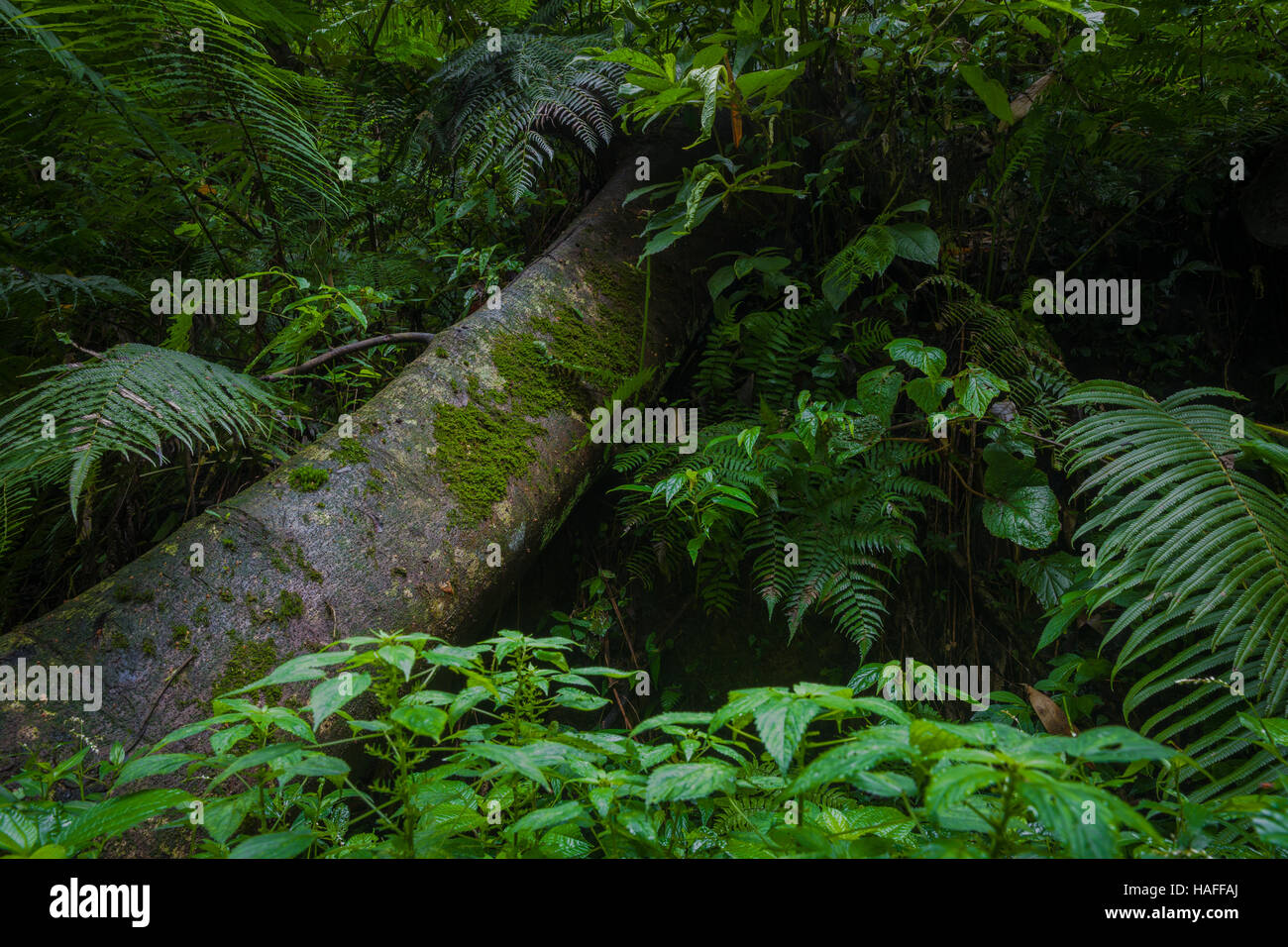 Mossy trees and lush leafs in the rainforest, Bali, Indonesia - Stock Image