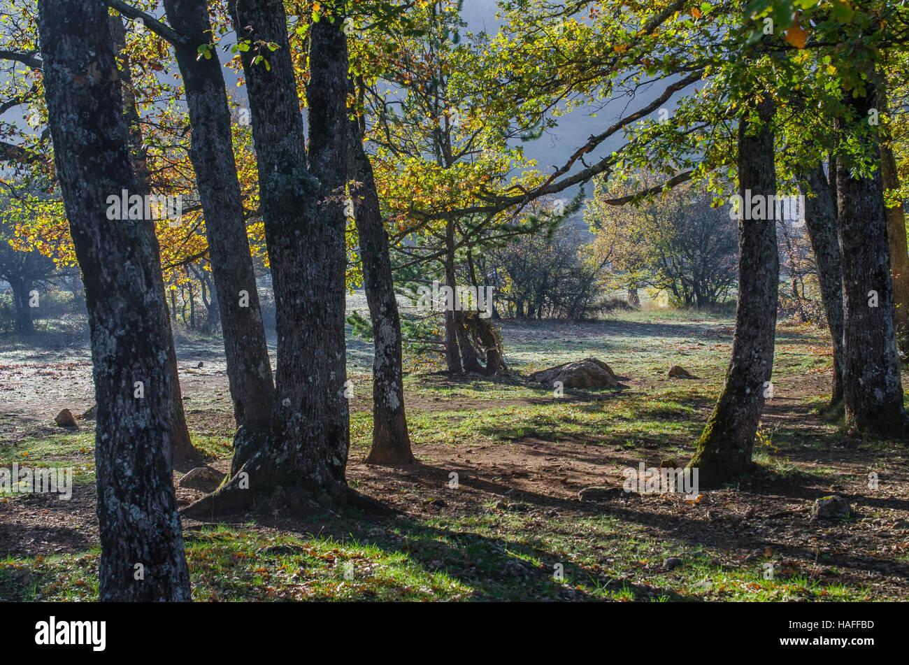 arbres en automne, forêt de Ste Baume, var, France - Stock Image