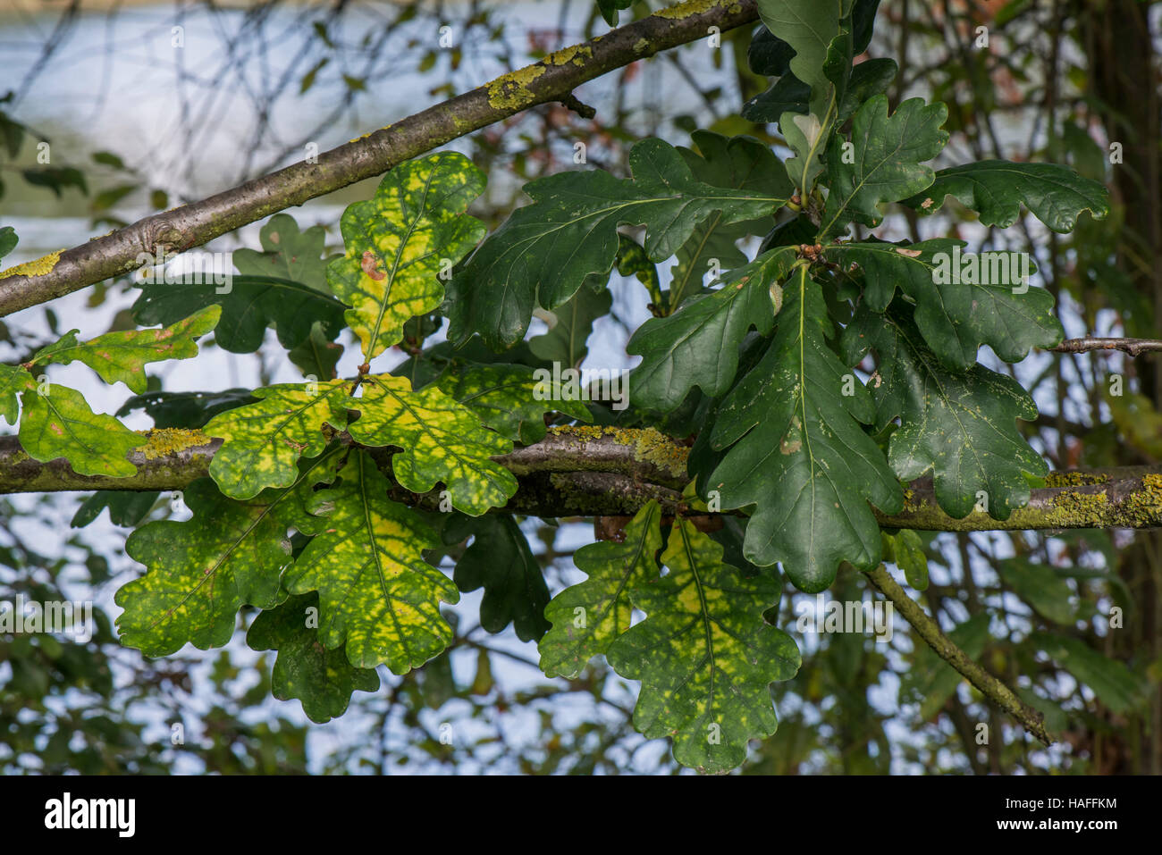 Diseased Oak tree (possibly Oak Wilt/Rust) within Whisby Nature Park, Near Lincoln, Lincolnshire, UK - Stock Image