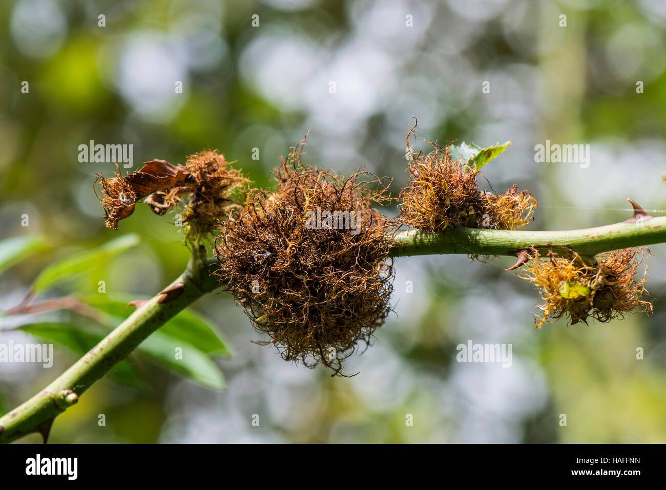 The rose bedeguar gall, Robin's pincushion gall, or moss gall Diplolepis rosae found in Whisby Nature Park, - Stock Image