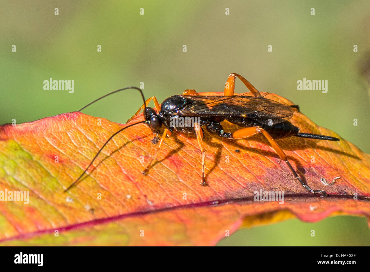 Female parasitic wasp of the Ichneumons species -  Buathra laborator found at Whisby Nature Park, Lincolnshire, - Stock Image