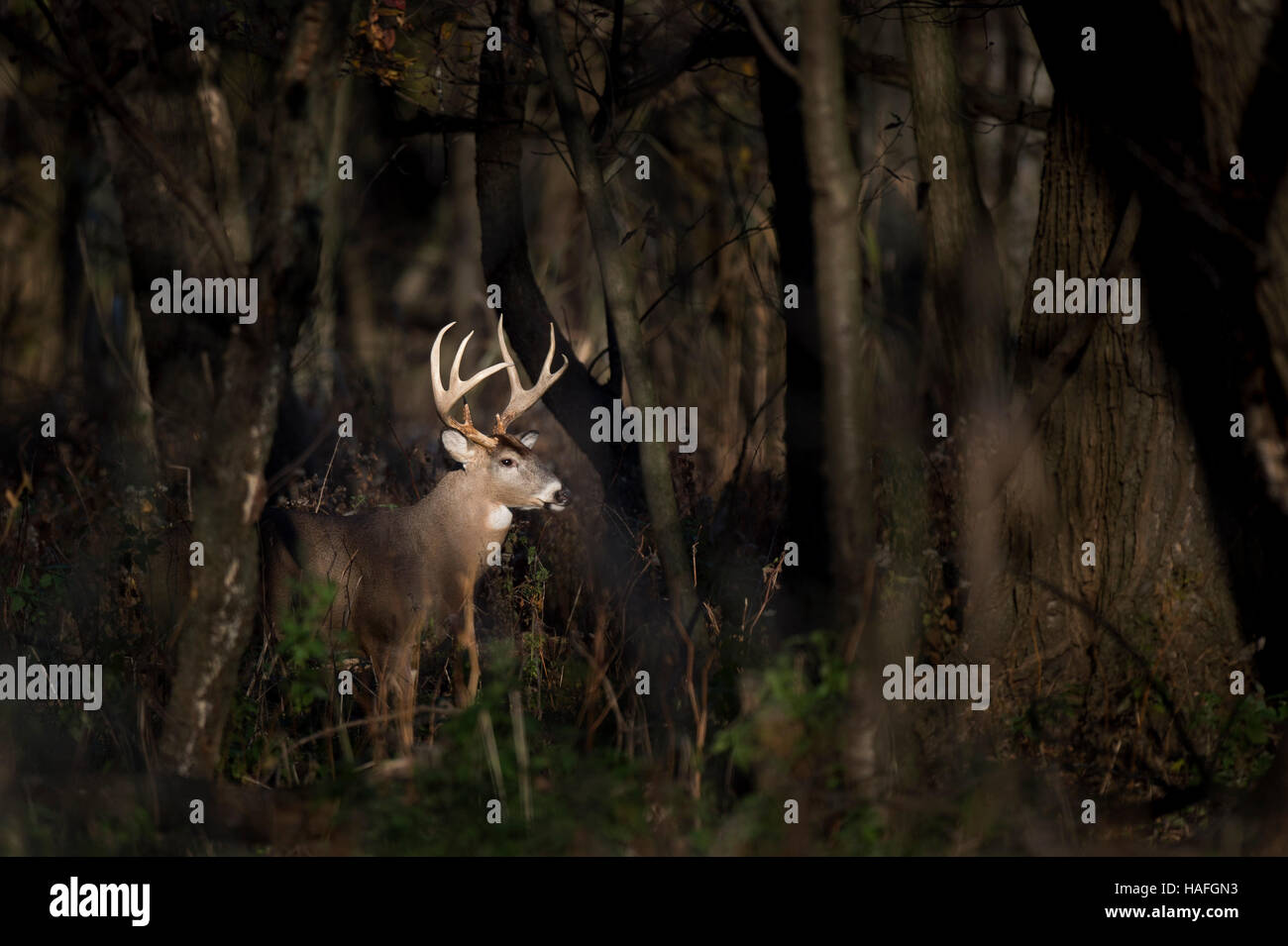 A large Whitetail Deer buck stands in a spotlight of sun in the woods early one morning. - Stock Image