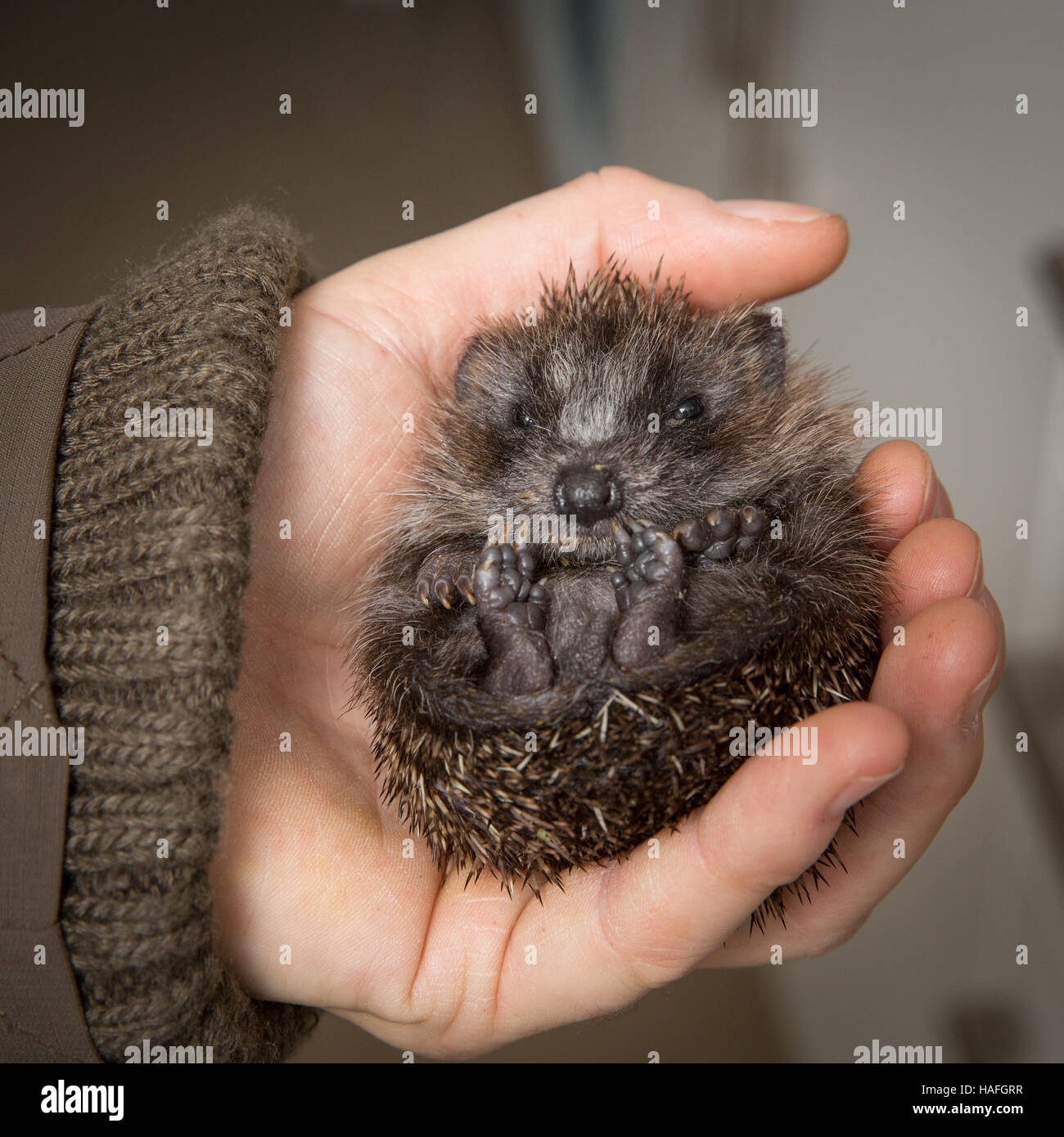 Curled up baby hedgehog being held in a hand to show its face and feet - Stock Image