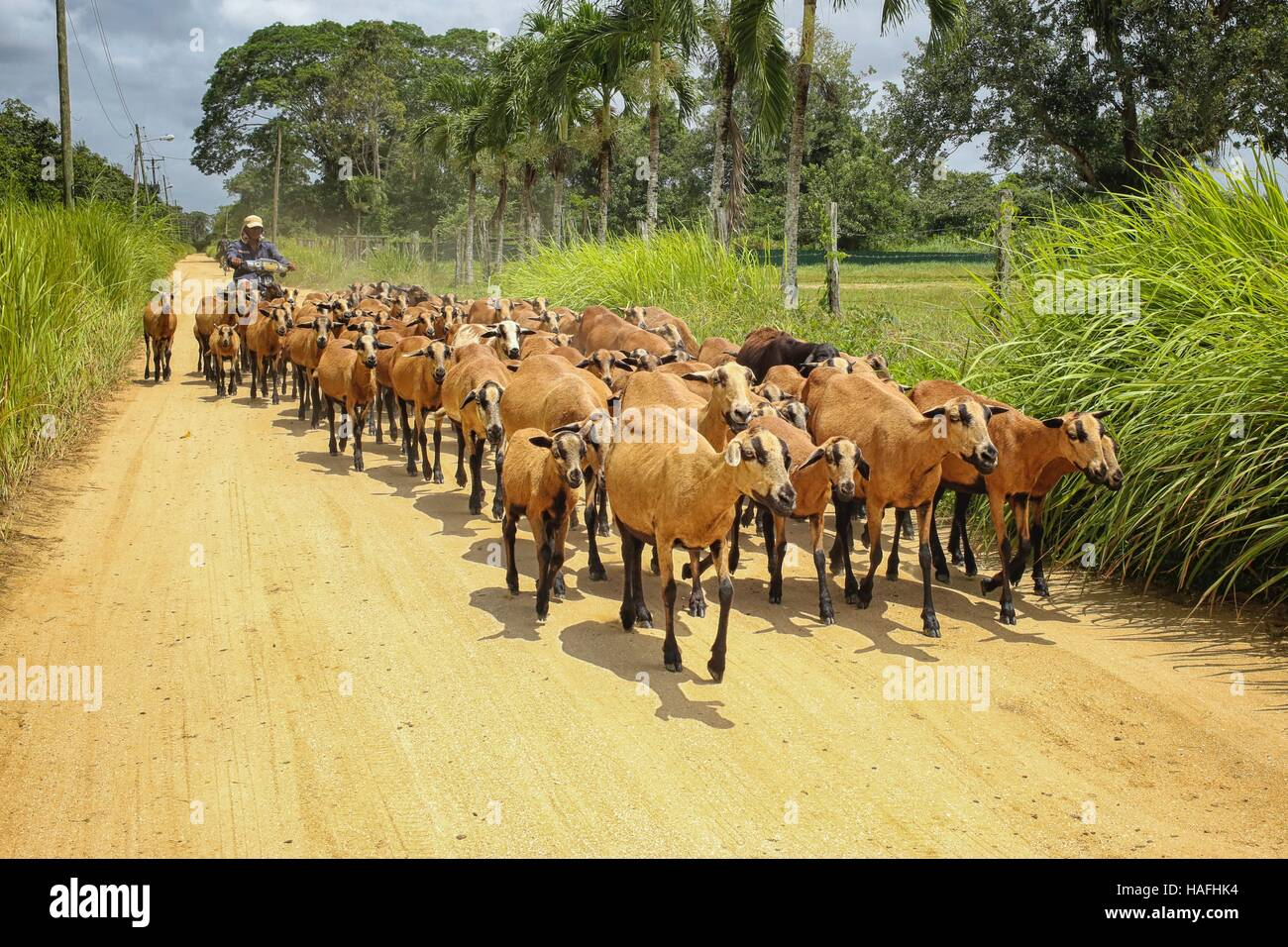 Motorized goatherd on a road in Suriname - Stock Image
