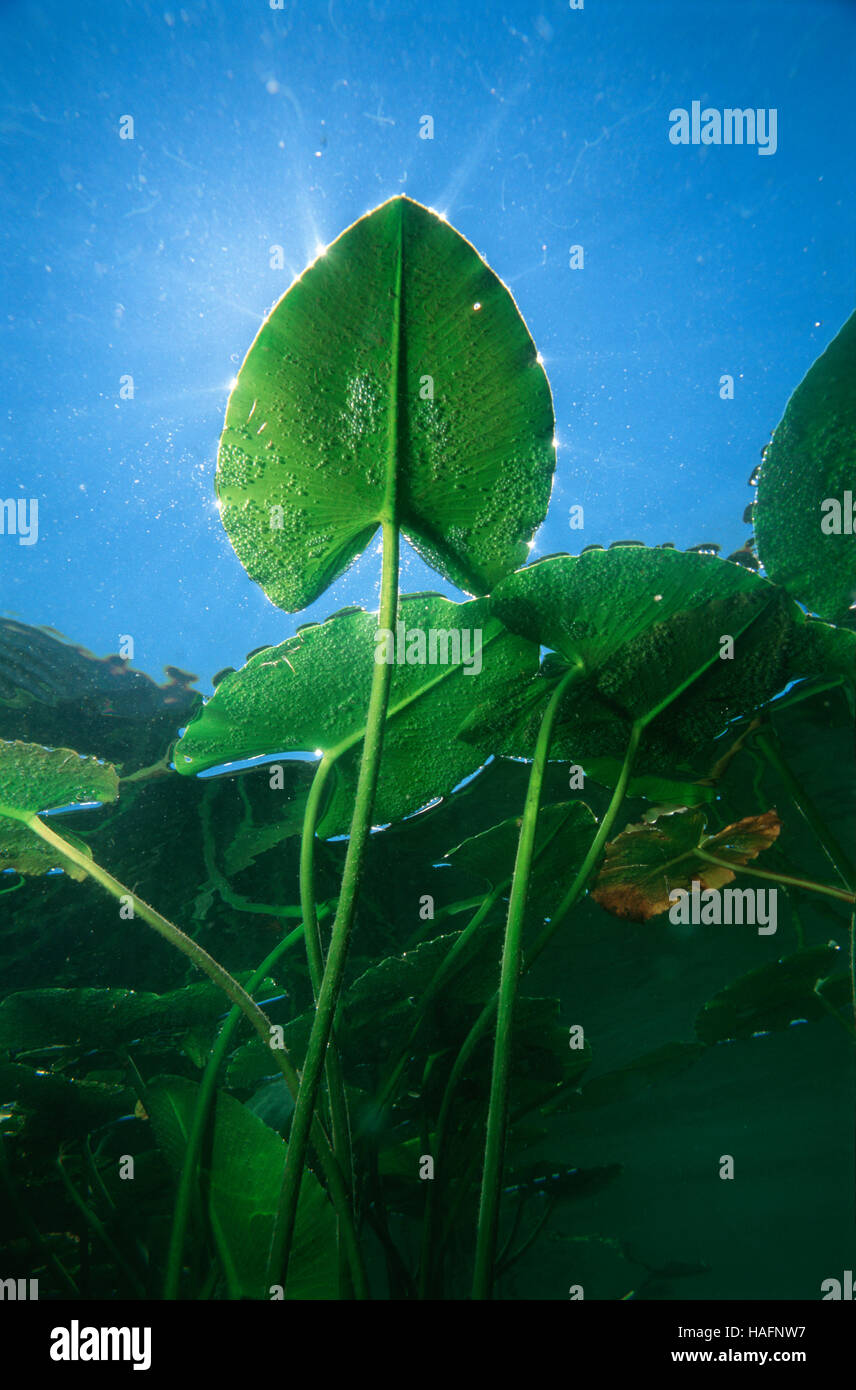 Underwater view of a leaf of a spatterdock, yellow water lily (Nuphar lutea), Lunz am See, Lower Austria, Europe Stock Photo